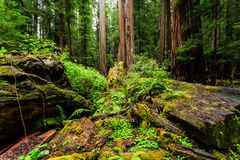 Forest floor in a lush redwood forest moss, ferns, dead  logs,. Forest floor in a lush dense old redwood forest Royalty Free Stock Photo