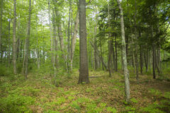 Forest Floor in Maine. Thick green forest in rural Maine showing forest floor Royalty Free Stock Photos