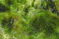 forest floor with moss Royalty Free Stock Images