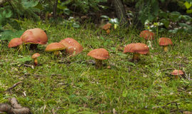 Forest Floor Mushrooms Royalty Free Stock Image