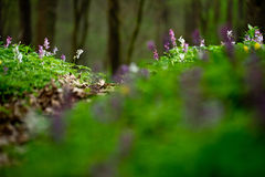 Forest floor in spring full of flowers Royalty Free Stock Images