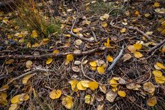 Forest floor in Utah with golden aspen leaves and branches. stock photography