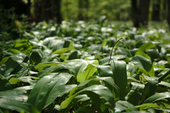 Forest flora. A detail photo of undergrowth plants in the forest Stock Image