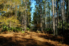 Forest in florida. Forest in mid state Florida with pines Royalty Free Stock Photo