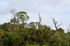 Forest in Florida swamps Royalty Free Stock Photo