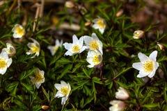Forest Flower Anémona Imagen de archivo