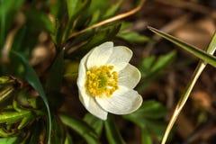 Forest Flower anemone Lizenzfreies Stockfoto