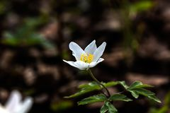 Forest Flower anemone immagine stock
