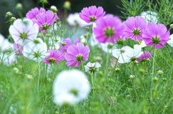 Forest Flower Cosmos Bipinnatus Fotografia de Stock Royalty Free