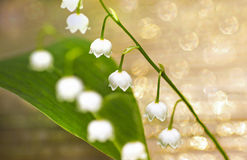 Forest flower Lily. Forest flower Lily of the valley on a brilliant background royalty free stock images