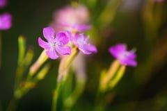 Forest Flower selvagem roxo, natureza do verão do russo Imagem de Stock Royalty Free