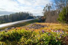 Forest flowers along the highway A-121 Sortavala in Karelia. Russia. Autumn landscape highway A-121 Sortavala in Karelia. Russia stock photo