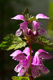 Forest flowers dead-nettle Stock Photography