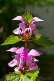 Forest flowers dead-nettle Royalty Free Stock Photo