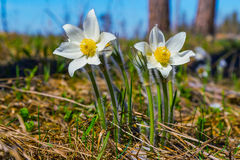 Forest flowers Pulsatilla,dream-grass. Royalty Free Stock Photography