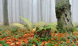 Forest in fog. Autumn forest in czech republic with fog, fern and gold leaves royalty free stock image
