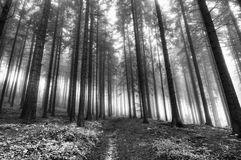 Forest in a fog. Image of the conifer forest early in the morning - early morning fog Royalty Free Stock Photos