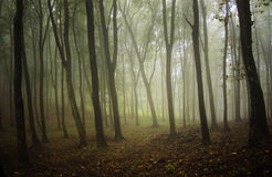 Forest with fog in autumn Royalty Free Stock Image