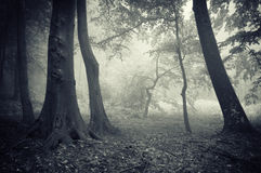 Forest with fog in autumn Royalty Free Stock Photography