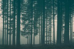 Forest with fog. Background of forest with fog stock photos