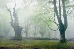 Forest with fog Royalty Free Stock Image
