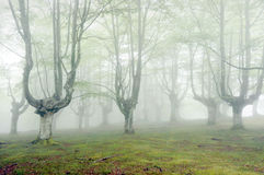 Forest with fog and beautiful light Royalty Free Stock Photos