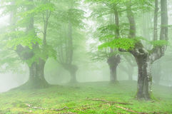 Forest with fog and beautiful light Royalty Free Stock Photo
