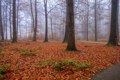 Fall foliage in foggy forest Royalty Free Stock Photo