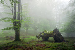 Forest with fog and dead trunk Royalty Free Stock Image
