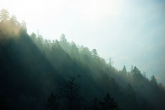 Forest in fog. Forest in the frog in the morning Royalty Free Stock Photos