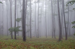 Forest with fog and green grass. Between trees Royalty Free Stock Photos