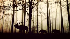 Forest, Fog, Hirsch, Wild Boars Stock Photography