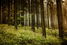 Forest with fog. Royalty Free Stock Photos