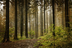 Forest with fog. Stock Photography