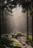 Forest Fog nas montanhas, cenário nevoento da manhã fantástica, montes cobriu a floresta da faia, Ucrânia, Carpathians, descobre- imagem de stock