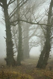 Forest in the fog. Old big trees in the fog stock photo