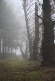 Forest in the fog. Old big trees in the fog royalty free stock photos