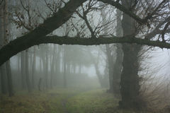 Forest in the fog. Old big trees in the fog stock photography