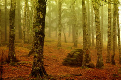 Forest fog Royalty Free Stock Image