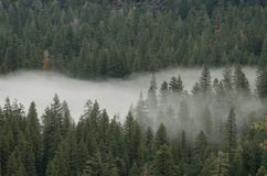 Forest and Fog. Fog rolling into pine forest Royalty Free Stock Photo