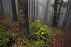 Forest with fog after a summer rain Royalty Free Stock Images