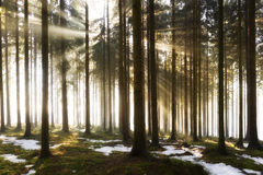 Forest Fog Sunlight Trees Lizenzfreies Stockbild