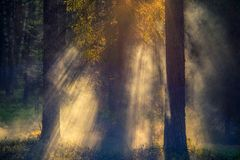 Forest with fog at sunrise light stock photos