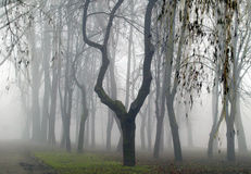 Forest in the fog. Trees in the fog city park Stock Photo