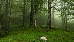 Forest in the fog. Trees in the fog and in the foreground a stone Royalty Free Stock Photo