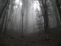 The dark forest and the fog. Trees in the fog, pretty dark photo in the woods Stock Image