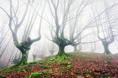 Forest with fog with twisted trees Stock Photo