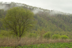 Forest in fog. Wild summer forest in fog mountains Royalty Free Stock Photography