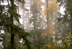 Forest in the fog Royalty Free Stock Photo