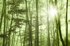 Forest Foggy Stock Images